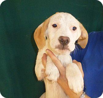 American Bulldog/Boxer Mix Puppy for adoption in Oviedo, Florida - Jill
