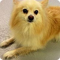 Adopt A Pet :: Tootsie - Muskegon, MI
