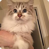 Adopt A Pet :: Star - Lafayette, CA