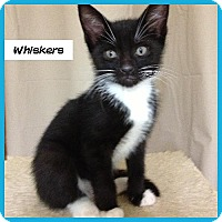 Adopt A Pet :: Whiskers - Miami, FL