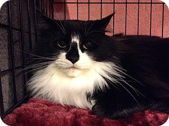 Domestic Mediumhair Cat for adoption in Toronto, Ontario - Nina