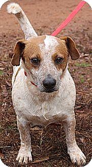 Lebanon, ME - Jack Russell Terrier/Basset Hound Mix. Meet ...