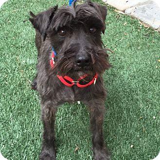 Schnauzer (Miniature) Dog for adoption in Redondo Beach, California - Tracey