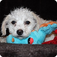 Adopt A Pet :: Maury - Henderson, NV