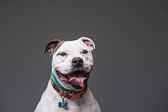 English Bulldog/Pit Bull Terrier Mix Dog for adoption in Berea, Ohio - Rocco