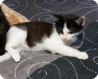 Domestic Shorthair Cat for adoption in Fenton, Missouri - Christian