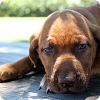 Adopt A Pet :: CJ~meet me~ - Glastonbury, CT