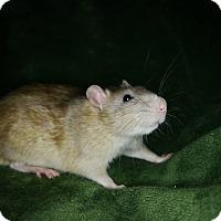 Rat for adoption in Welland, Ontario - Aaron