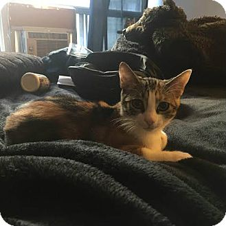 Domestic Shorthair Kitten for adoption in Toronto, Ontario - Papaya