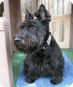 Scottie, Scottish Terrier Dog for adoption in Dallas, Texas - Paden & Piper