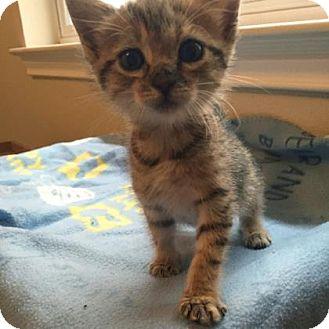Domestic Shorthair Kitten for adoption in Austin, Texas - Wanda