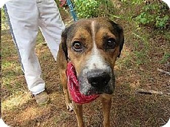 Shepherd (Unknown Type)/Hound (Unknown Type) Mix Dog for adoption in Media, Pennsylvania - COPPER