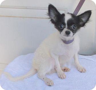 Chihuahua Puppy for adoption in Birch Tree, Missouri - Bruiser