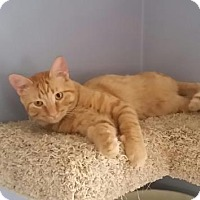 Domestic Shorthair Cat for adoption in Edina, Minnesota - Weston C160227