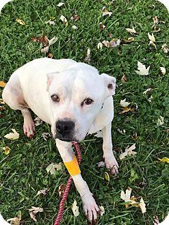 Staffordshire Bull Terrier Dog for adoption in Zanesville, Ohio - Rosie