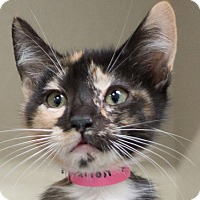 Adopt A Pet :: Shiloh - Redwood City, CA