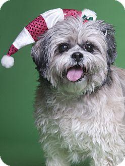 Shih Tzu/Lhasa Apso Mix Dog for adoption in Chicago, Illinois - Baby