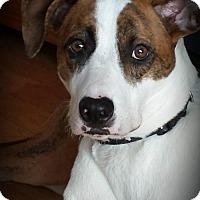 Adopt A Pet :: SCOUT TH - Tampa, FL