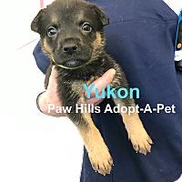 Adopt A Pet :: Yukon - Agoura Hills, CA
