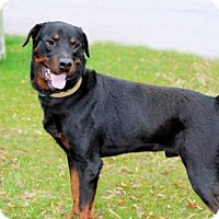 Rottweiler Dog for adoption in Hagerstown, Maryland - MAJOR LAW