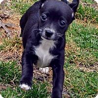Adopt A Pet :: Ginger - Bridgeton, MO