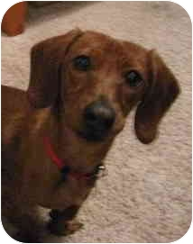 Dachshund Dog for adoption in Garden Grove, California - Bow