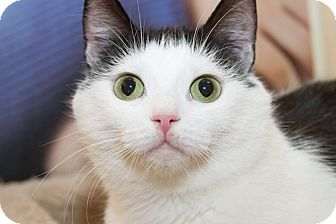 Domestic Shorthair Cat for adoption in Irvine, California - Marguerite
