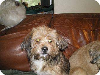 N.c. Pekingese Rescue Kree | Adopted Puppy |...