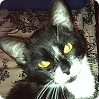 Adopt A Pet :: Mittens - Harriman, NY, NY