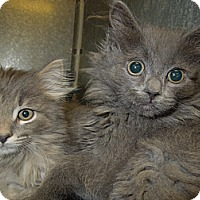 Adopt A Pet :: Nubs - Medina, OH