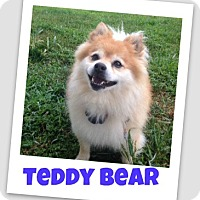 Adopt A Pet :: Teddy Bear - Brazil, IN