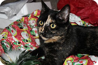 Domestic Shorthair Cat for adoption in Millersville, Maryland - Dolly