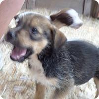 Adopt A Pet :: Scruffy - Chewelah, WA