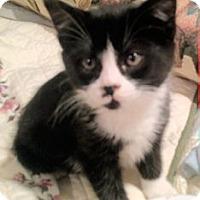 Adopt A Pet :: Miss Chaplin - North Ogden, UT
