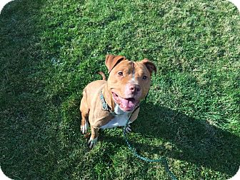 American Pit Bull Terrier/American Staffordshire Terrier Mix Dog for adoption in novelty, Ohio - Gordon