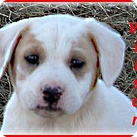 Adopt A Pet :: Wilson-Adoption Pending - Marlborough, MA