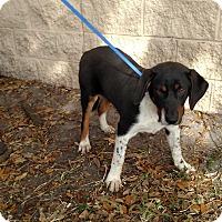 Adopt A Pet :: Bouncer - Oviedo, FL