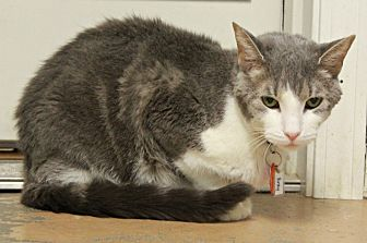 Domestic Shorthair Cat for adoption in New Richmond,, Wisconsin - Binky
