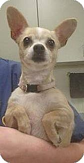 Chihuahua Mix Dog for adoption in Las Vegas, Nevada - Gracie