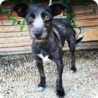 Terrier (Unknown Type, Medium) Mix Dog for adoption in Santa Cruz, California - Pepsi
