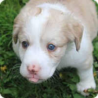 Adopt A Pet :: Minor - Joliet, IL