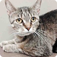 Domestic Shorthair Cat for adoption in Plainfield, Illinois - Angie