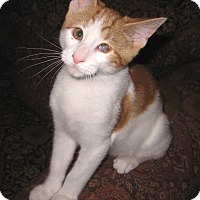 Adopt A Pet :: PeeWee - Colmar, PA