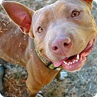 Adopt A Pet :: Snorkles! - Oakland, CA