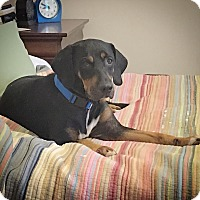 Adopt A Pet :: Olivia - Pittsboro, NC