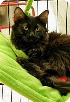 Maine Coon Cat for adoption in Knoxville, Tennessee - Trouble