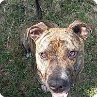 Adopt A Pet :: TODD - Charlotte, NC