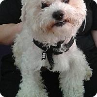 Adopt A Pet :: Calvin - Thousand Oaks, CA