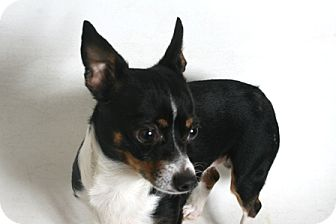 Chihuahua Mix Dog for adoption in Redding, California - Nicky