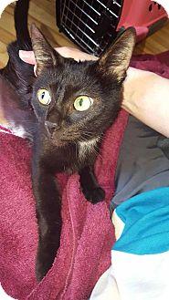 Domestic Shorthair Cat for adoption in New Prague, Minnesota - Madam Hooch